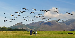 Canada Geese over Crow Park Keswick. (greengrocer48) Tags: canadageese keswick cumbria crowpark