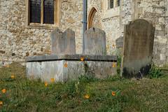 Farnham St Andrews Churchyard-G9181972 (tony.rummery) Tags: em10 farnham graveyard mft microfourthirds omd olympus orangeflower standrews surrey england unitedkingdom