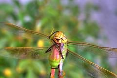 IMG_7343 (DannyGar2013) Tags: dragonfly insect odonata nature macro canoneos7d invertibrate sympetrumvicinum autumnmeadowhawk darnersaeshnidae