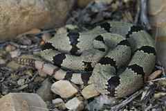 Banded Rock Rattlesnake (DevinBergquist) Tags: bandedrockrattlesnake rockrattlesnake rattlesnake cascabel viboradecascabel vibora crotalus crotaluslepidus crotaluslepidusklauberi klauberi wildlife nature newmexico mexico herping fieldherping
