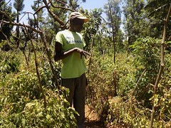 Kenya Tigania - John's tomatoes under drip irrigation (Growing Hope Globally) Tags: growing hope globally world renew ads mt kenya east humanitarian charity food security farmers men women children families drough drip irrigation mulching income tomatoes kale conservation agriculture