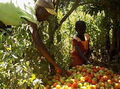 Kenya Tigania - John & daughter, sorting out tomatoes for sale (Growing Hope Globally) Tags: growing hope globally world renew ads mt kenya east humanitarian charity food security farmers men women children families drough drip irrigation mulching income tomatoes kale conservation agriculture
