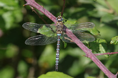 Migrant Hawker (Hugobian) Tags: dragonfly dragonflies odonata insect nature wildlife fauna animal pentax k1 paxton pits reserve migrant hawker