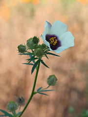 aufblühen (Naturportal) Tags: panasonic dmcgx8 olympus m60mm f28 macro plants pflanze makro makrofotografie bokeh