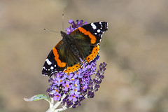 Red Admiral (Robert McEwen) Tags: redadmiral butterfly flutterby nature wildlife insect wings thorax abdomen