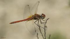 Fotonatura (Ricardo Menor) Tags: odonatos odonata libélulas dragonfly airelibre iluminaciónnatural canoneos60d macrofotografía insecto sympetrumfonscolombii salinas salinas2019 2019 macho machoadulto male adultmale