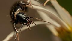 BeetleFace (JWB Creative Life) Tags: ca uk portrait black macro nature face insect shiny derbyshire beetle 100mm apo hoe dreamer quarry grange 1exposure laowa