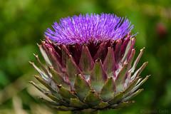 Fiore di carciofo / Artichoke flower (Eugenio GV Costa) Tags: approvato fiore carciofo artichoke flower