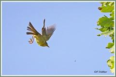 Pouillot fitis vol 190916-05-P (paul.vetter) Tags: oiseau ornithologie ornithology faune animal bird pouillotfitis phylloscopustrochilus willowwarbler mosquiteromusical felosamusical fitis