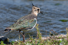 Northern Lapwing Sept 2019 (jgsnow) Tags: yellow bird wader plover lapwing northernlapwing