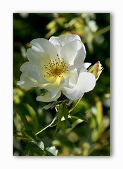 Windrush Rose - David Austin (steffi's) Tags: windrushrosedavid austin licht herbst davidaustin oktober englishrose windrush rose weiss white englishrosecollection heiligberg heiligbergrosengarten winterthur