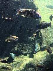 Cueva Kitum (Marisa Tárraga DV) Tags: españa spain valencia bioparc zoo cuevakitum acuario peces ngc agua water iphone6s aquarium fish