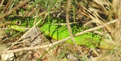 Western Green Lizard (Lacerta bilineata) (Nick Dobbs) Tags: reptile lizard western green lacerta bilineata naturalised