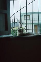 Kiara (Joaquin Corbalán) Tags: window onfilm shootfilm cat bokeh keepfilmalive filmphotography