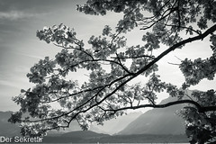 Im Spätsommer --- In late summer (der Sekretär) Tags: alpen alps ast baum bern berne blatt blätter gebirge himmel kantonbern lakethun lakeofthun schweiz see switzerland thun thunersee wasser wolke wolken zweig branch cantondeberne cloud clouds lasuisse lake leaf leafs mountains sky tree twig water