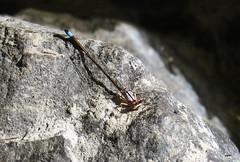 Swift Forktail Damsel 3051 (Ethan.Winning) Tags: swift forktail damselfly dragonfliesanddamselflies odonata mtdiablowalnutcreekca canonsx50 copyrightethanwinning all walnut creek whatever it says map