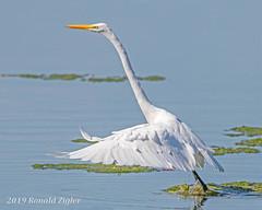 Great Egret Takeoff IMG_7250 (ronzigler) Tags: egret birdwatcher wildlife nature avian wader bird
