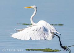 Great Egret Takeoff IMG_7252 (ronzigler) Tags: egret birdwatcher wildlife nature avian wader bird