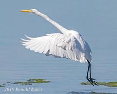Great Egret Takeoff IMG_7254 (ronzigler) Tags: egret birdwatcher wildlife nature avian wader bird