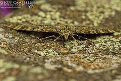 Yellow-ringed Carpet (Entephria flavicinctata) (gcampbellphoto) Tags: yellowringed carpet moth insect nature wildlife entephria flavicinctata macro ballycastle county antrim northern ireland