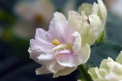African violet - NoID (Adam Nowak) Tags: petals violets color flowers leaves buds hair saintpaulia africa