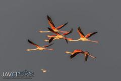 Greater Flamingos (Phoenicopterus roseus) at dawn -3624 (George Vittman) Tags: birds nature wildlife flamingo flight bouchedurhone wildlifephotography jav61photography jav61
