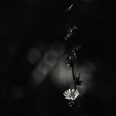 Hiding for Autumn... (Ageeth van Geest) Tags: square soul light zwartwit bokeh monochrome blackandwhite bw cobweb nature flower