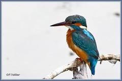 Martin-Pêcheur 190918-06-P (paul.vetter) Tags: oiseau ornithologie ornithology faune animal bird martinpêcheur alcedoatthis eisvogel kingfisher