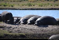 Hippos, Chobe NP, Botswana (JH_1982) Tags: hippopotamus hippo hippos amphibius nilpferd nilpferde flusspferd flusspferde 河马 カバ 하마 обыкновенный бегемот mammal sleeping relaxing river animal wildlife nature tier natur chobe np national park nationalpark pn parque parc nacional 喬貝國家公園 チョベ国立公園 चोबे नेशनल पार्क botswana botsuana 波札那 ボツワナ 보츠와나 ботсвана