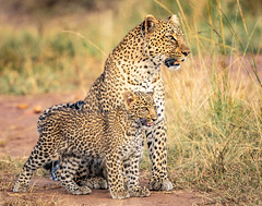 Leopard mother and cub in rapt attention (Explored) (frankmetcalf) Tags: leopard mother cub africa kenya maasaimara entimcamp davidlloyd savannah forest explore