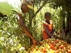 Kenya Tigania - John & daughter, sorting tomatoes for sale Rev (Growing Hope Globally) Tags: growing hope globally world renew ads mt kenya east humanitarian charity food security farmers men women children families drough drip irrigation mulching income tomatoes kale conservation agriculture
