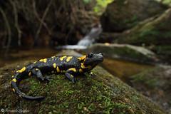 Salamandra salamandra (Fernando_Iglesias) Tags: salamandra anfibio amphibian urodela bejarae almanzoris herping herps