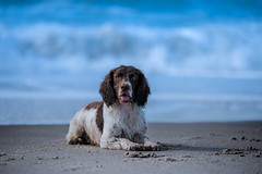 at sea (The Papa'razzi of dogs) Tags: zigzag spaniel beach pet nature water dog cocker sea outdoor animal