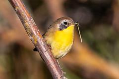 Common Yellowthroat (Gf220warbler) Tags: idaho parulidae warbler passerine songbird migrant