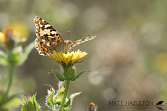 Painted lady (Matt Hazleton) Tags: paintedlady butterfly insect wildlife animal nature outdoor canon canoneos7dmk2 eos 7dmk2 canon100mm 100mm macro vanessacardui summerleys bcnwildlifetrust northamptonshire maryslake matthazleton matthazphoto