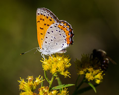 Late Summer Feast (Portraying Life, LLC) Tags: cropapsc da3004 hd14tc k1mkii michigan pentax ricoh topazaiclear unitedstates butterfly closecrop handheld nativelighting meadow goldenrod flower earlyfall