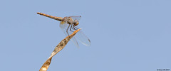 Libellule.. dragonfly.. (Didier Gozzo) Tags: dragonfly didiergozzo nature outdoor canon libellule
