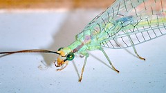 Porch-light Visitors - Green Lacewing (parmrussrap) Tags: insects entomology lacewings neuroptera netwings wings green eyes predators beneficial porchlight