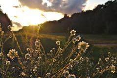 Flowers (mmichalec) Tags: sunset flower flowers kwiaty kwiat plants rośliny nature natura poland fujifilm zachód polska