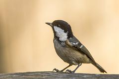 Coal Tit (Donna Joyce) Tags: garden birds bird wildlife kent uk coaltit tit
