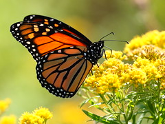 It's that time of year! (Bethm 2012) Tags: insect butterfly monarch