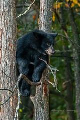 Northern Minnesota August 31, 2019 (Doug Lambert) Tags: blackbear tree mammal animal nature wildlife minnesota stlouiscounty midwest woods outdoors canon7dmarkii canon100400ii