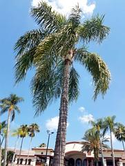 Sheraton Vistana Villages Orlando (debbie6477) Tags: sheratonvistanavillages internationaldrive pool palmtrees blueskies