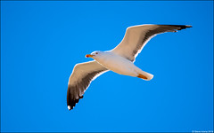 Lesser Black-backed Gull (Larus fuscus) (Steve Arena) Tags: racepoint provincetown barnstablecounty massachusetts 2019 nikon d750 bird birds birding rps racepointsouth lesserblackbackedgull larusfuscus
