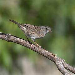 Dunnock (Donna Joyce) Tags: garden birds bird wildlife kent uk dunnock