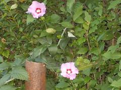 Rose of Sharon Blossoms (JuneNY) Tags: roseofsharon lockportny myyard flowers