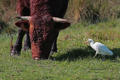 Beauty and the beast (DODO 1959) Tags: wildlife cattleegret animal avian fauna birds heron nature outdoor bull canon 100400mmmk2 7dmk2 michaelpowellhide wwt llanelli wales carmarthenshire