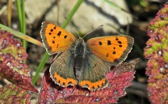 Small Copper, male (marksargeant57) Tags: rhopalocera lepidoptera lycaenidae insect lycaenaphlaeas butterfly lincolnshirewildlifetrust smallcopper