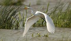 Grande aigrette \ Great Egret (Alain Daigle) Tags: grandeaigrette greategret