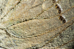 Gray Hairstreak Butterfly Wing (3) (-FlyTrapMan-) Tags: butterfly macro nature wildlife insect bug wing